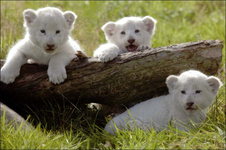 Cute White Lion Baby | www.pixshark.com - Images Galleries ...