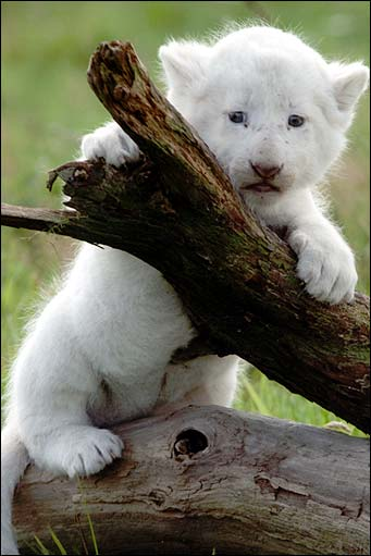 BBC - Hereford - In pictures: Baby white lion cubs