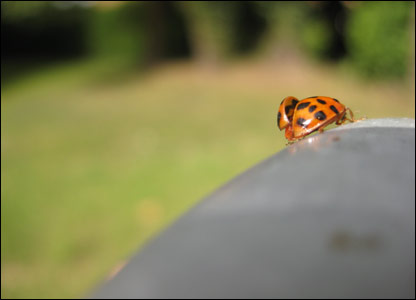 A ladybird caught on film by Phoebe, 12, from Surrey