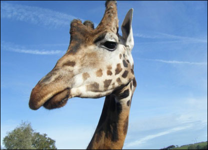 Chloe's photo of a giraffe