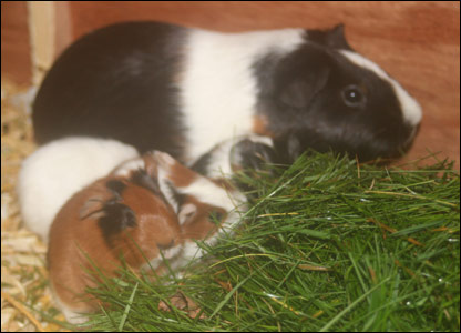 Julia's guinea pigs picture