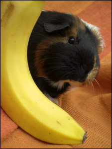 Alice's photo of her guinea pig, Bannofie
