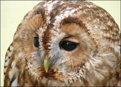 Tommy the tawny owl. Pic provided by Totnes Rare Breeds Farm