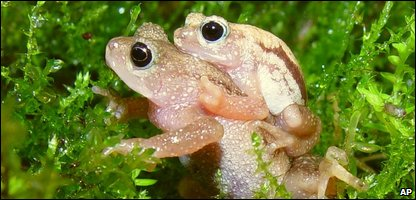 The Kihansi toad, now extinct in the wild
