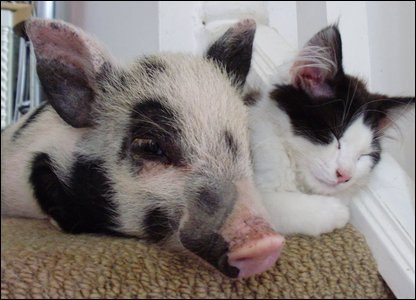 Pig and cat