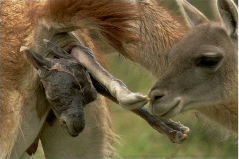 birth giving guanaco predators act earth bbc born traumatic guanacos alert moment almost must very