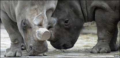 Northern White Rhino Fatu (Left) and Nabiro in a zoo in the Czech Republic