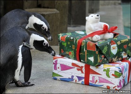 Penguins checking out their presents at a zoo in Hanover, Germany