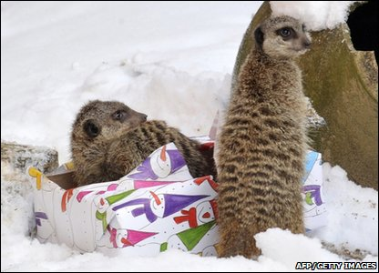 Meerkats in the snow