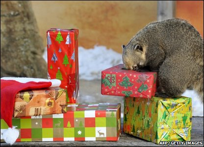 A coati investigating its Christmas presents