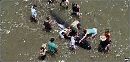 Rescuers try tos ave a whale at Colville Bay