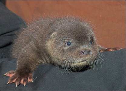 Ron the otter