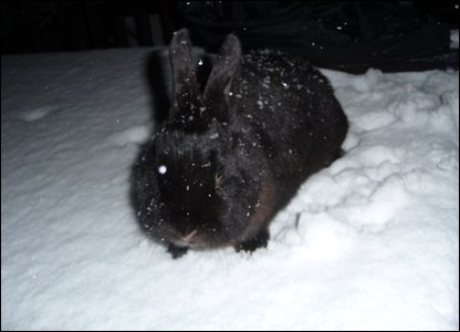 Rabbit in the snow.