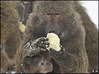 Baboon eating hot potato