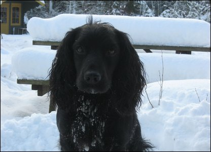 Ted the spaniel in the snow