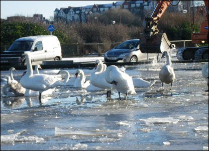 The swans stuck in the ice