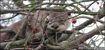 Mo the otter up a tree (Photo: WWT/Sally Munro)