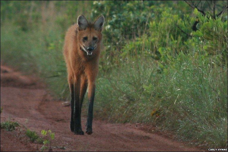 巴西粪便探测犬——野生动物的保护者