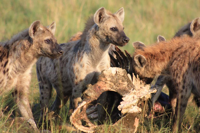 Animals Fighting For Food Hyenas competing for food