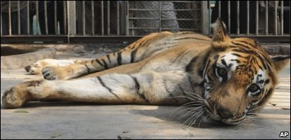 A Bengal tiger looks from its cage at a state zoological park in Gauhati, India