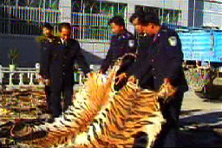 poached tiger skins