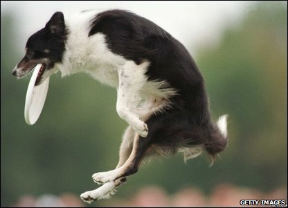 Owen, a border collie from Anaheim Hills, California, catches a frisbee, 1996