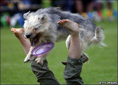 Dog Nina jumps between the legs of her owner as she catches a Frisbee during the Butch Cassidy Cup 2009