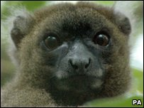 A greater bamboo lemur, one of four of a group that could be the only one left in a wildlife park in Madagascar
