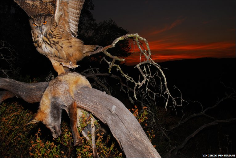 Aninimal Book: BBC - Earth News - In pictures: Super-predatory owls and ...