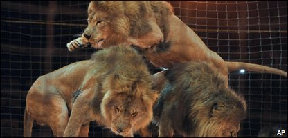 Lions in a circus