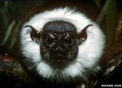 Brazilian bare-faced tamarin monkey