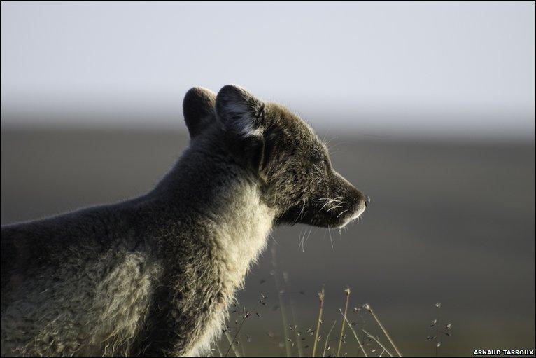Adult arctic fox in summer