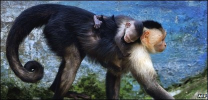 Capuchin monkey and baby