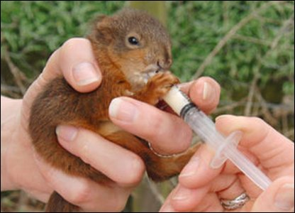 Baby squirrel being fed