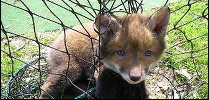 This fox cub was caught in a cricket net in Norwich and rescued by the RSPCA