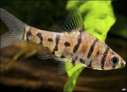 Eigh-banded barb