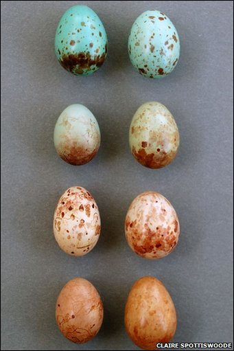 an analysis of the cuckoos egg Using analysis of variance (anova), students look for statistical evidence that  the mean length of the cuckoo eggs differs depending on the.
