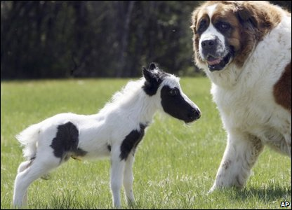 Pinto the foal with St.Bernard Hannah