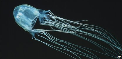 A box jellyfish