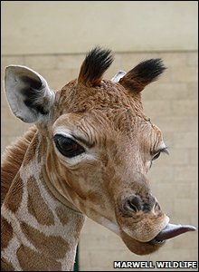 Nsia the baby giraffe