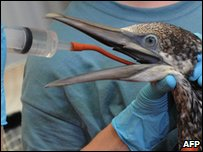 A Gannet that was covered in oil is rehydrated