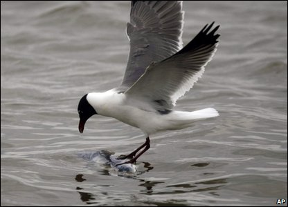 Seagull catching a fish
