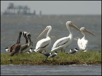 Pelicans near Louisiana