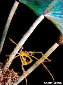 RunnerHighly commended: Spider crab on peacock worm by Cathy Lewis/cathylewisphotography.com