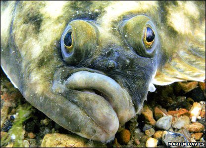 Highly commended: Flounder (Dorset) by Martin Davies