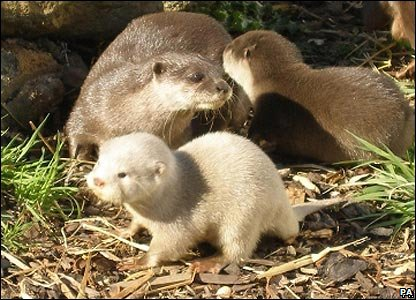 White otters