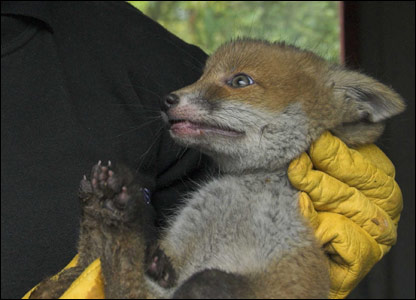 The fox cub after being rescued from the wheel