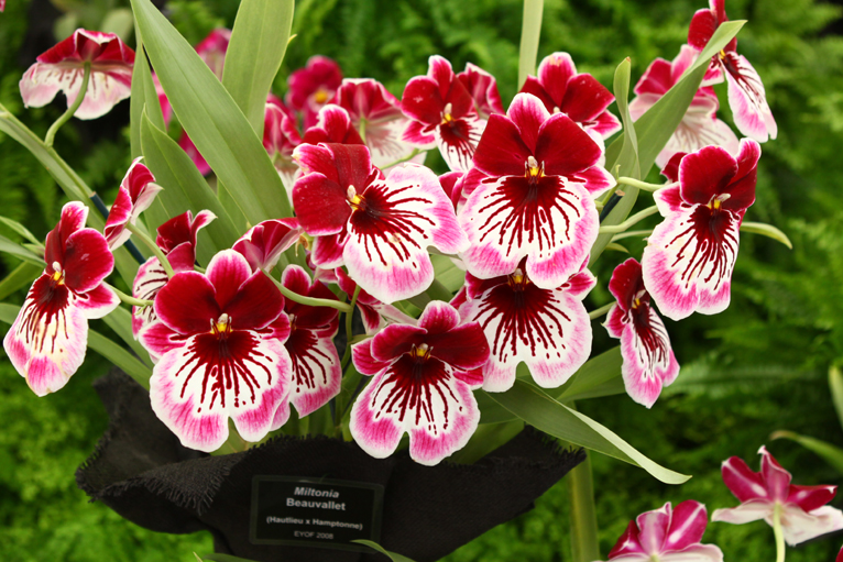 Orchid chelsea