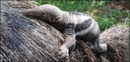 Baby Giant Anteater at Amazon World Zoo Park