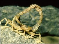 Yellow tailed scorpions